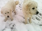 Ranch Dogs in the Snow - Cherrye Williams