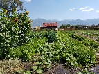 Produce growing at Everson Ranch - Cherrye Williams