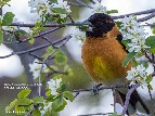 Black-headed Grosbeak, Appletree Pools -