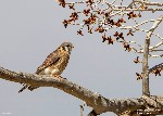 Female American Kestrel, Everson Ranch -