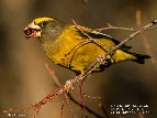 Male Evening Grosbeak eating Chokecherries, 6 feet from Appletree Pool -