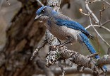 Woodhouse Scrub Jay -