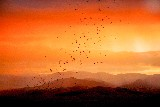 Bat Outflight at Sunset -