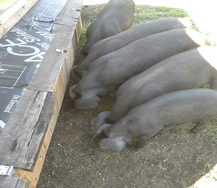 Piglets at the Everson Ranch
