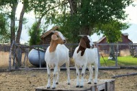 Goats at Everson Ranch