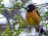 Blackheaded Grosbeak, Appletree Pools