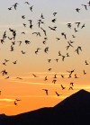 Bat Outflight at Sunset